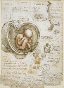 Leonardo da Vinci'nin Anne Karnındaki Fetüse ilişkin çizimi - İngiliz Kraliyet Koleksiyonu - Kraliçenin Galerisi, Buckingham Sarayı.