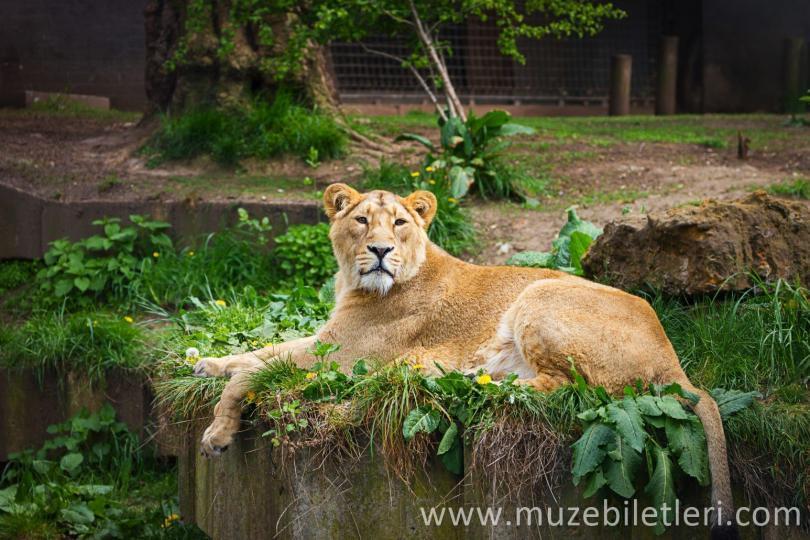 Londra Hayvanat Bahçesi - Aslan