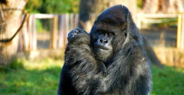 Londra Hayvanat Bahçesi - Gorilla Kingdom