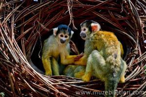 Londra Hayvanat Bahçesi - Maymunlar