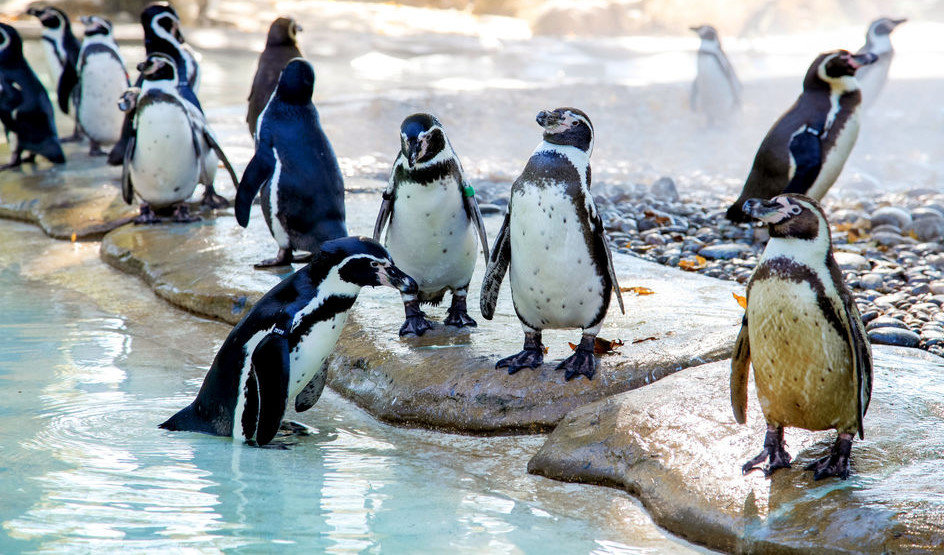 Londra Hayvanat Bahçesi - Penguin Beach