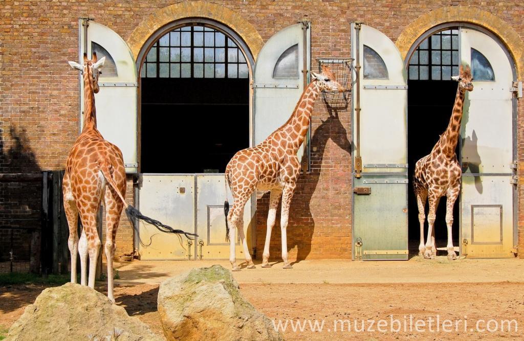 Londra Hayvanat Bahçesi - Zürafalar