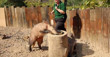 ZSL London Zoo görevlisi ziyaretçilere yer domuzunu anlatıyor.