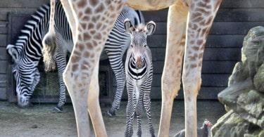 Artis Royal Hayvanat Bahçesi
